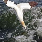 Gannet Dive Bomber