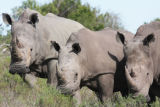 Three female rhinos at Shamwari threatening to attack.