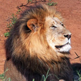 Mature lion basking in late afternoon sun at Nguni.