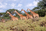Giraffes playing follow my leader at Samburu game reserve.