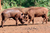 Warthogs head to head at Masai Mara