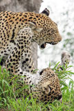 Leopards fighting at Londolozi Game Reserve