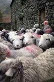 Herdwick sheeps awaiting annual dipping; Lake District