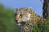 Male leopard at Londolozi