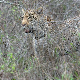Male leopard hunting at Londolozi.
