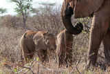 Mother and baby elephants at Samburu.