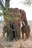 Female elephant and two calves on Sanbona Game Reserve
