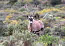 Surprised look on face of gemsbok at Sanbona.