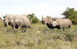 Male rhino gone courting.