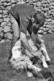 Sheep shearing Lake District
