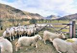Sheep through sheep gate, Eskdale, Lake District